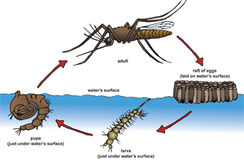 Mosquito Biology When Is The Best Time To Eliminate