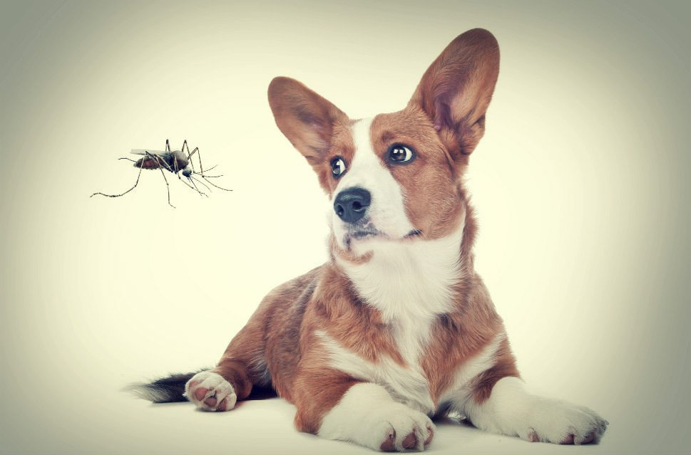 Do Mosquitoes Bite Dogs Insect Cop