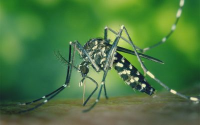 Mosquito species – Asian Tiger mosquito