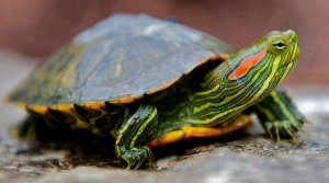 Pictures-of-Red-Eared-Slider-Turtle