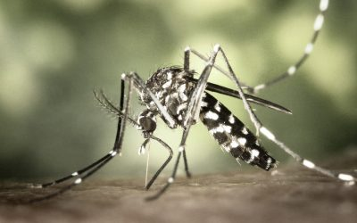 Aedes aegypti mosquitoes in history
