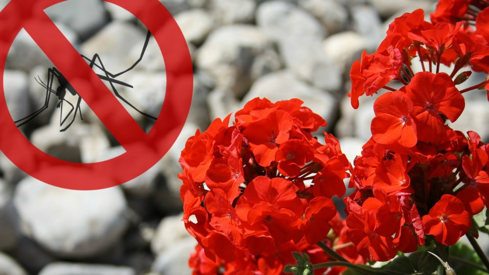 Natural mosquito repellent plants that deter mosquitoes