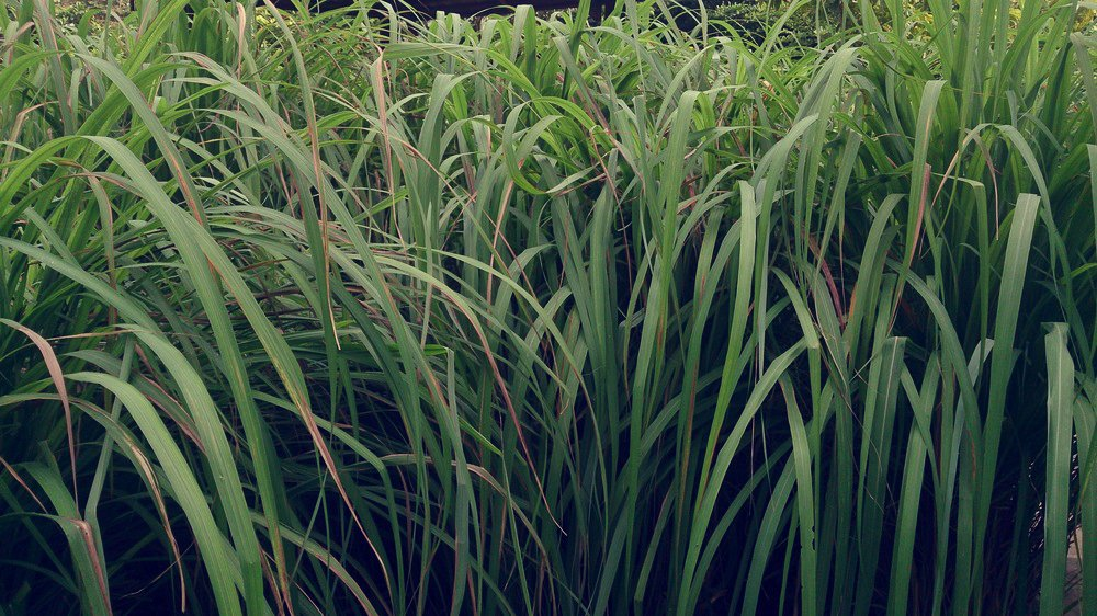 Citronella grass – planting, growing and care