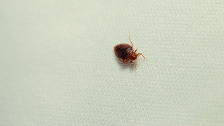 Easy home treatments for bed bugs
