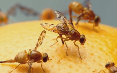 Where do Fruit Flies Come From?