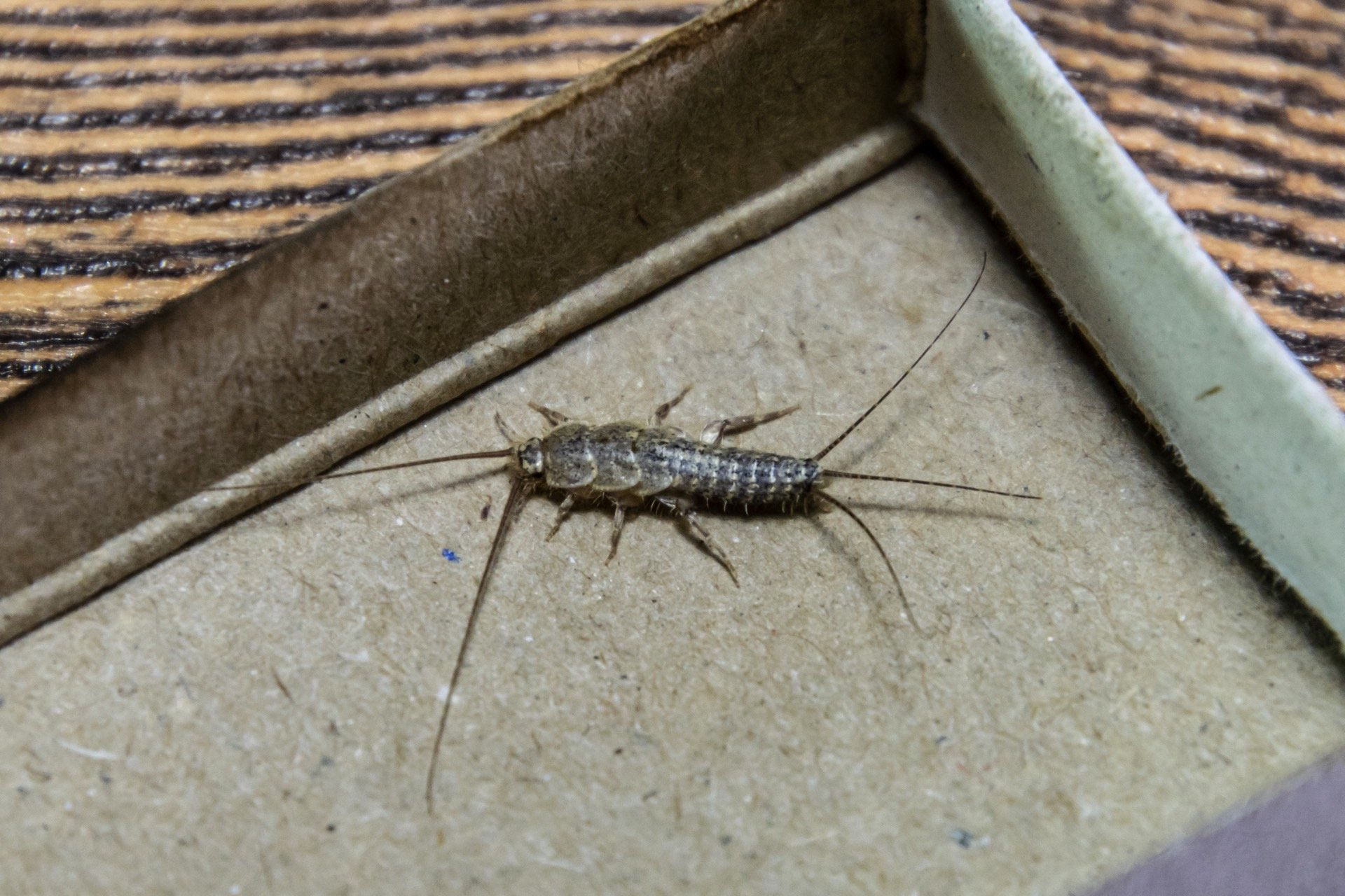 Best Silverfish Traps | INSECT COP