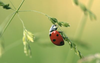 How long do ladybugs live?