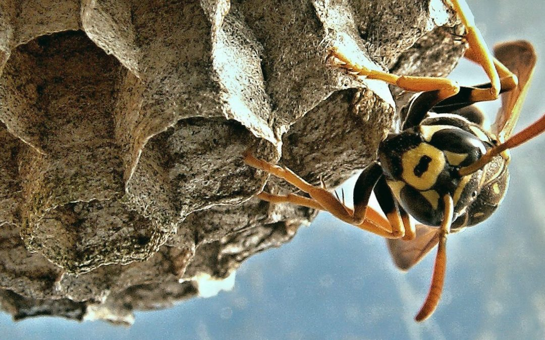 how to remove a wasp nest insect cop