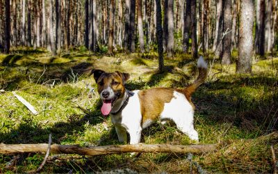 How to remove engorged ticks on dogs
