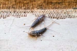two silverfish bugs