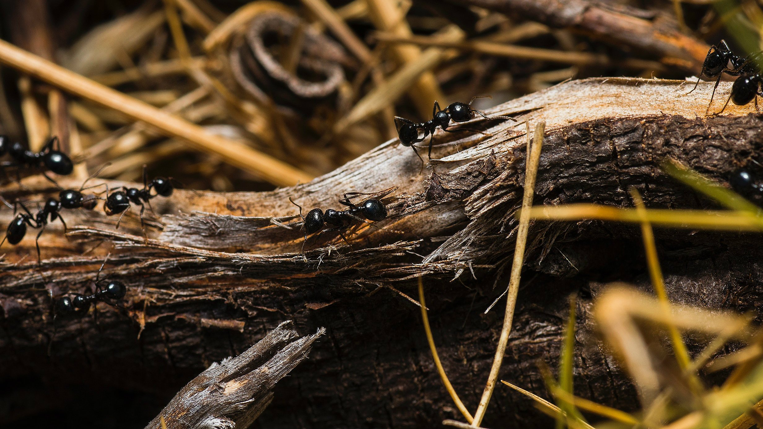 Ant colonies and their structure   INSECT COP