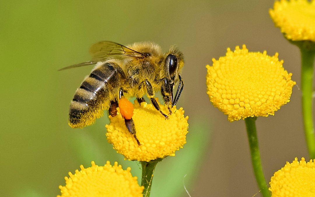 Why Do Bee Stings Itch?