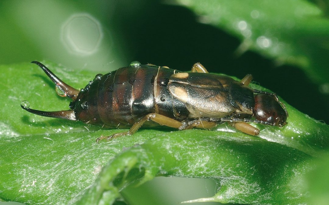 How did earwigs get their name?