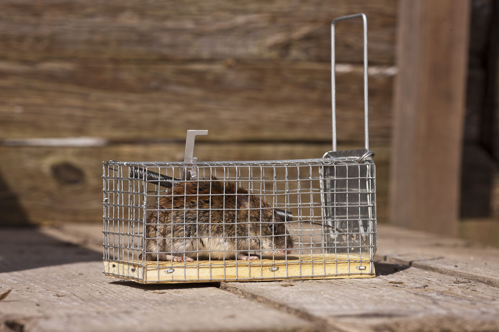 Best Humane Mouse Traps | INSECT COP