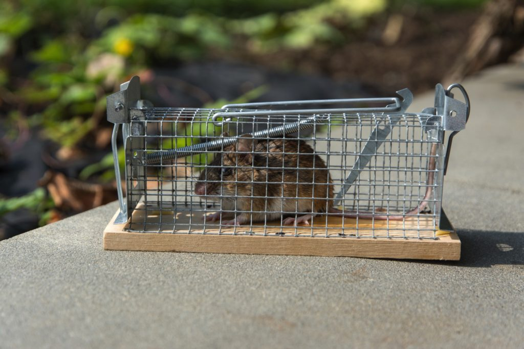 mouse in humane trap