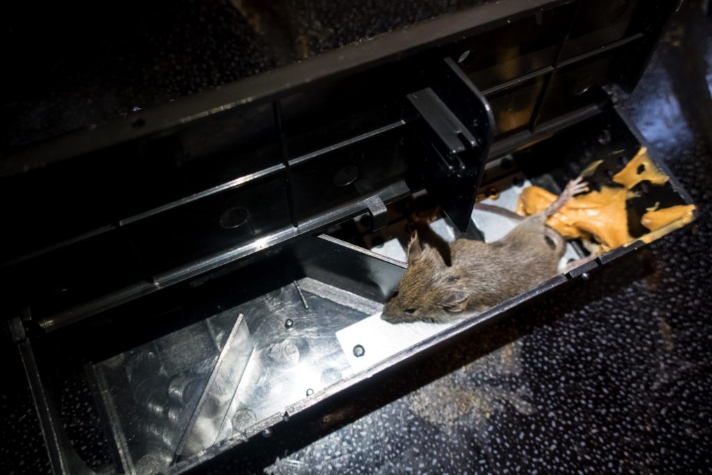 Dead rodent in electric trap