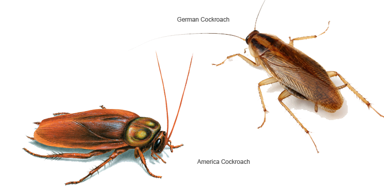 difference between German Roach and American Roach