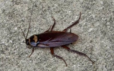 Are Palmetto Bugs Roaches?