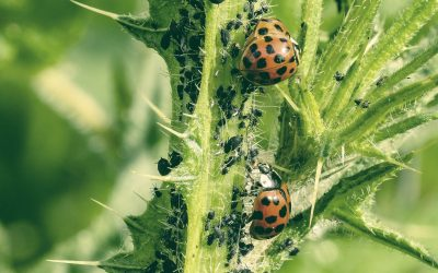Aphid predators: Who eats aphids?