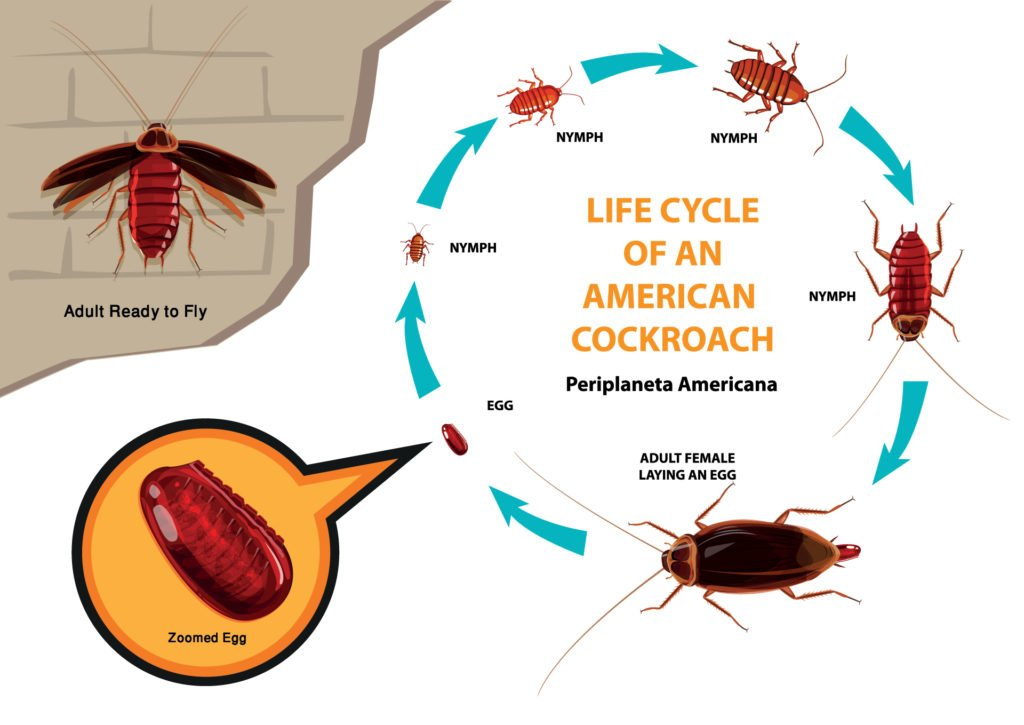 American cockroach life cycle