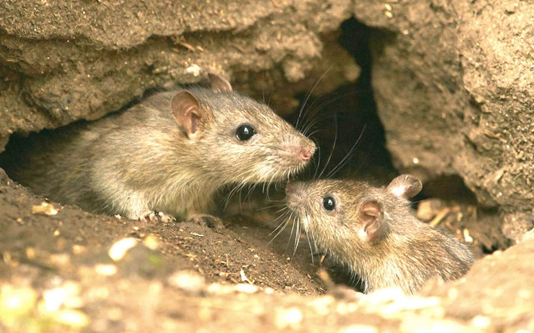 Rat vs Mouse: What's the Difference?