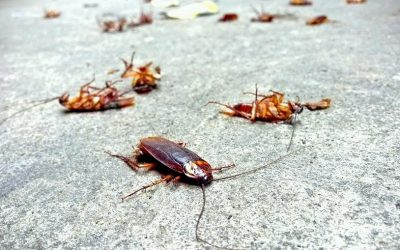 How to get rid of roaches with borax and boric acid?