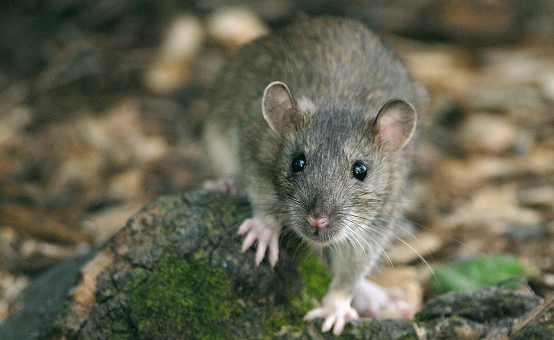 Rat Poisoning In Humans: Symptoms and Treatment