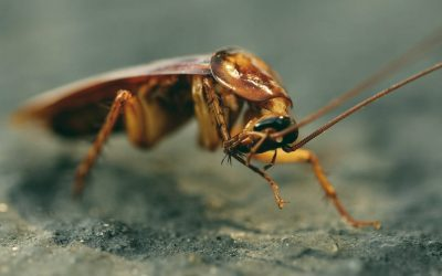 What eats roaches?