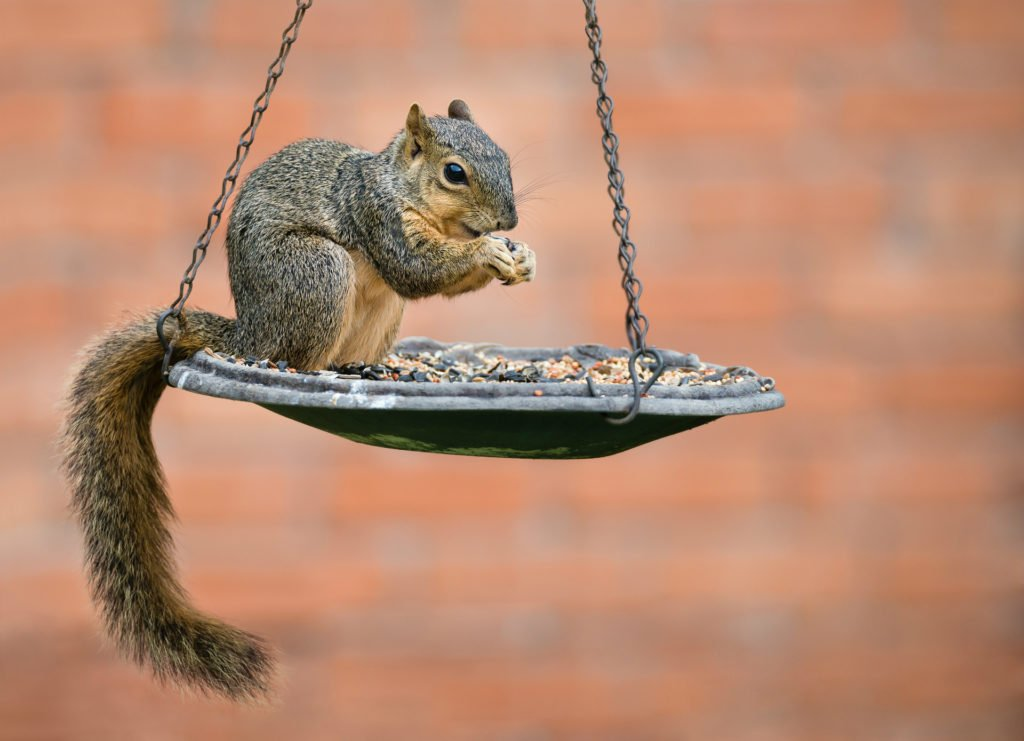 Squirrel eating seeds from bird feeder