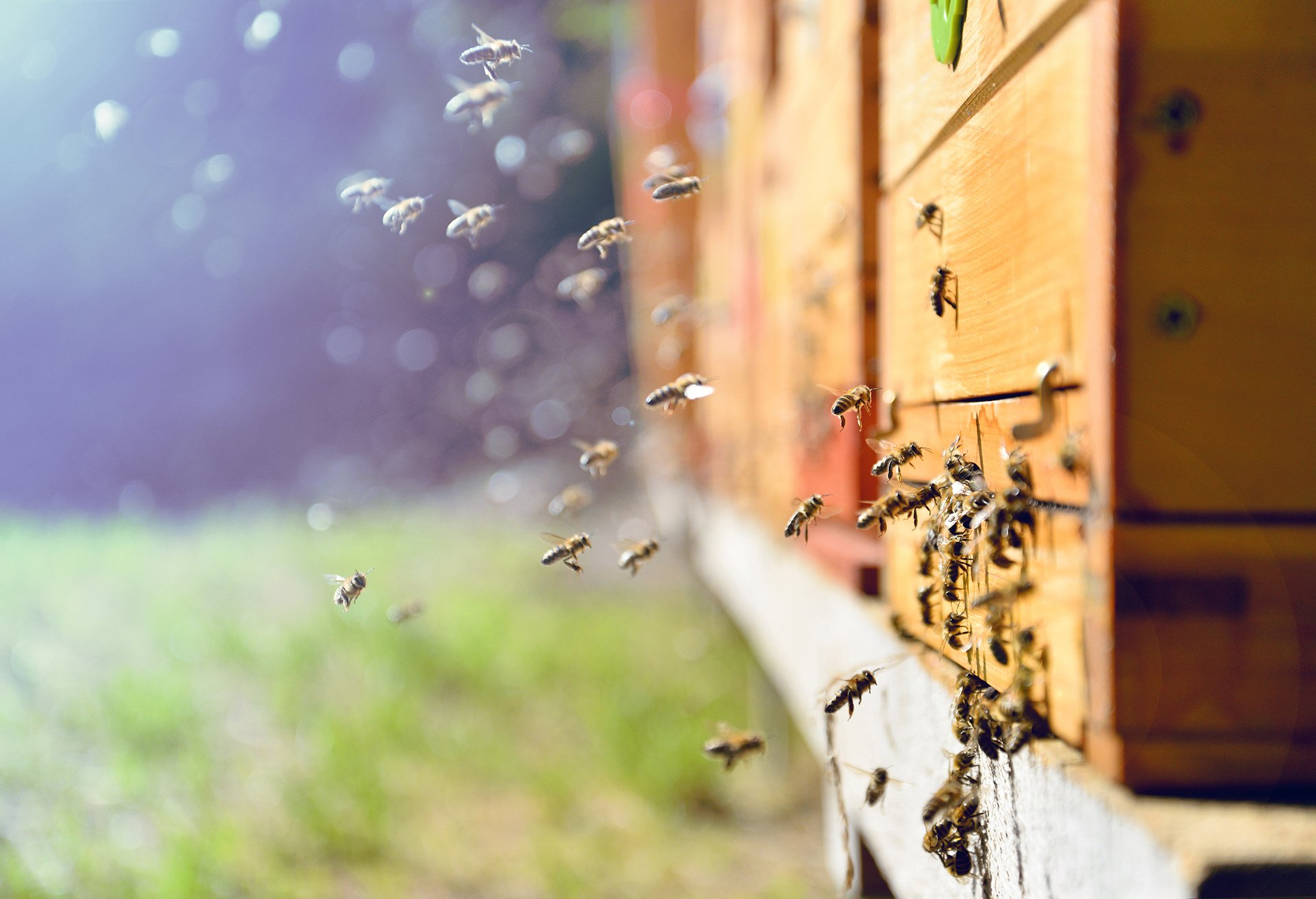 How to keep bees away from your house   INSECT COP