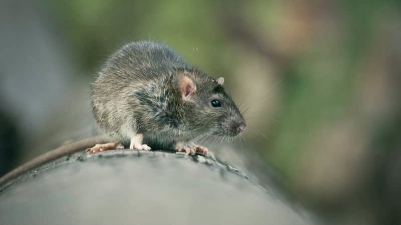 What Attracts Rats To Your House?