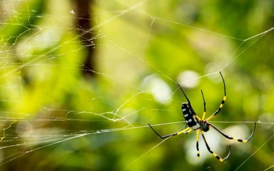Deadliest Spiders in the World