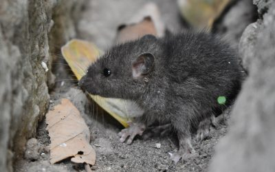 What Is the Best Bait to Catch Mice