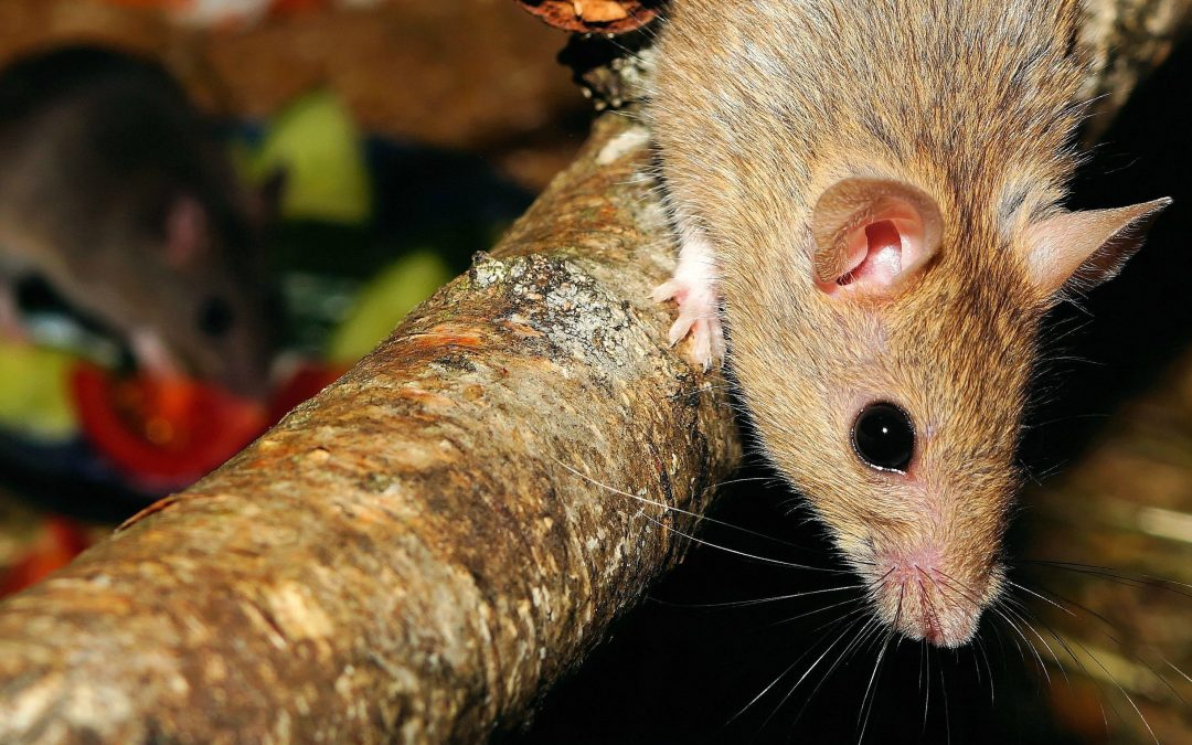 What Do Mice Eat in the Wild?