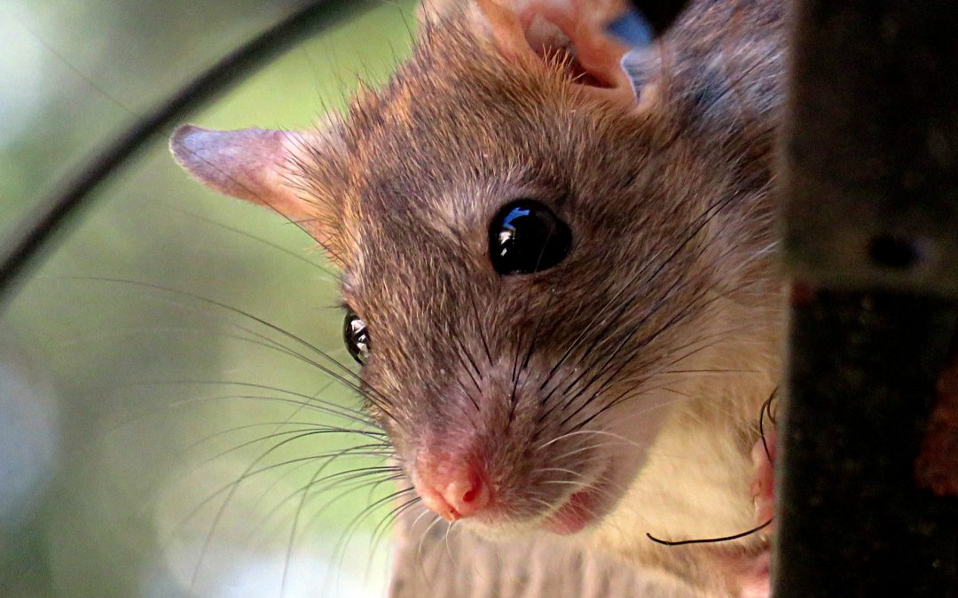 What Diseases Do Rats Carry?