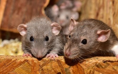 Deer Mouse vs House Mouse: Differences and Similarities
