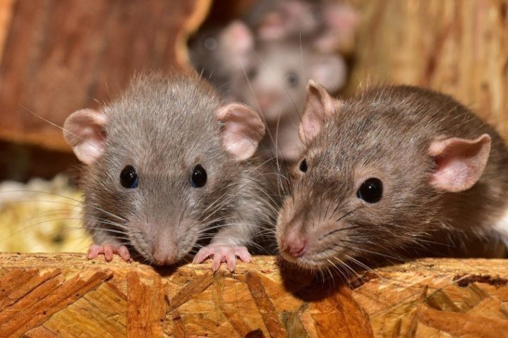 Deer Mouse versus House Mouse