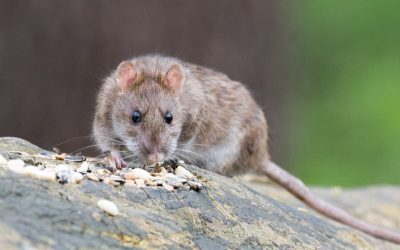 How Does a Rat Poison Work?
