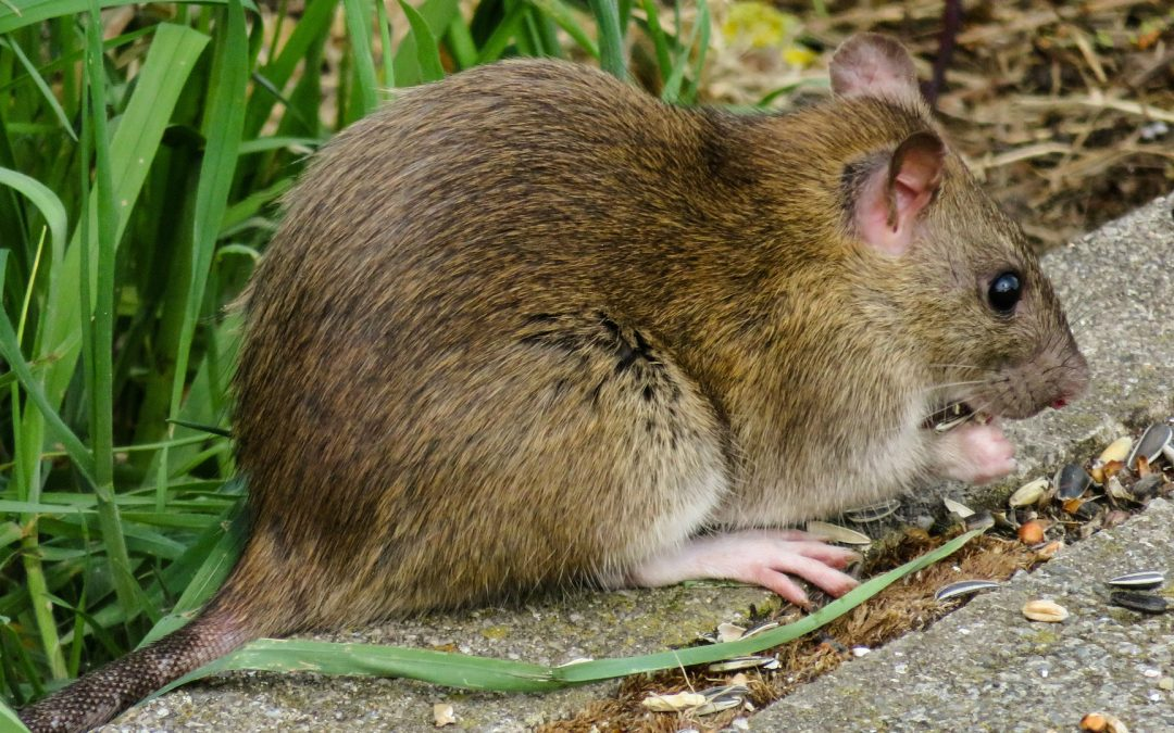 What Do Wild Rats Eat: All About Rat Diet