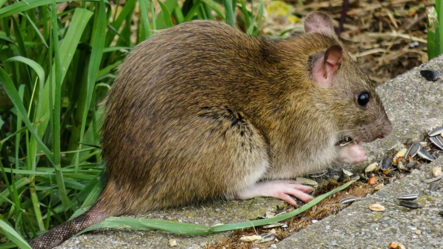 What Do Wild Rats Eat: All About Rat Diet | INSECT COP