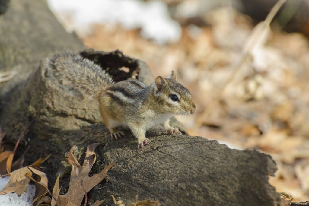 chipmunk repellents