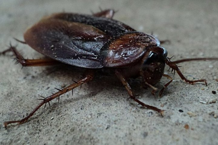 Do Cockroaches Fly