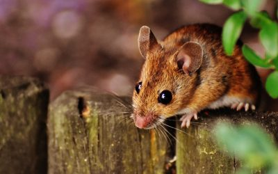 Where Do Mice Live and Hide?