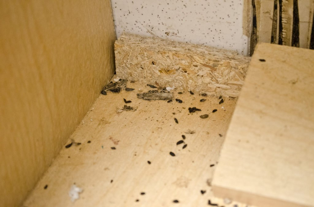 What to Do If You Find Mouse Droppings | INSECT COP