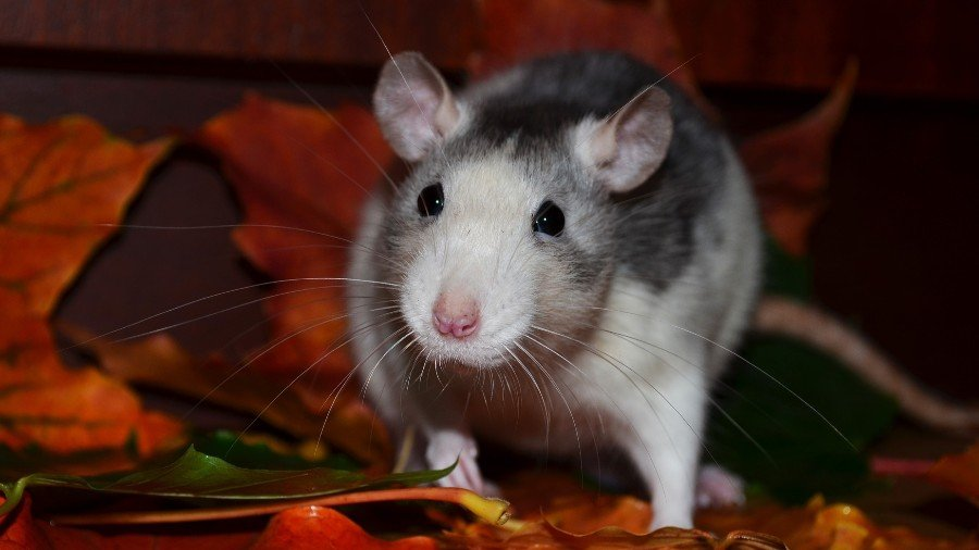 What Smells Do Rats Dislike?