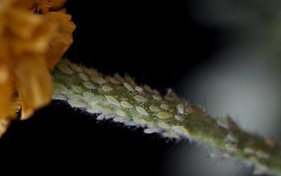 What Causes Whiteflies and How Can You Prevent Them?