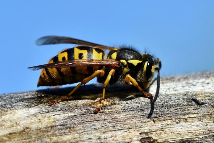 do wasps pollinate