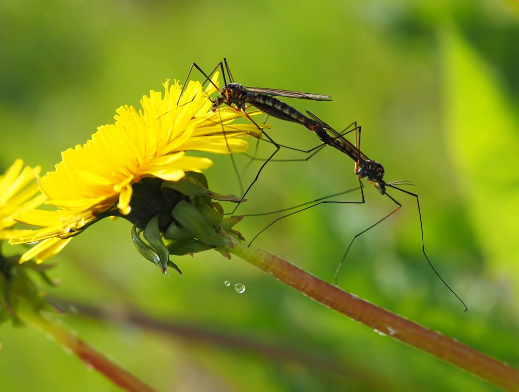 crane fly on flower