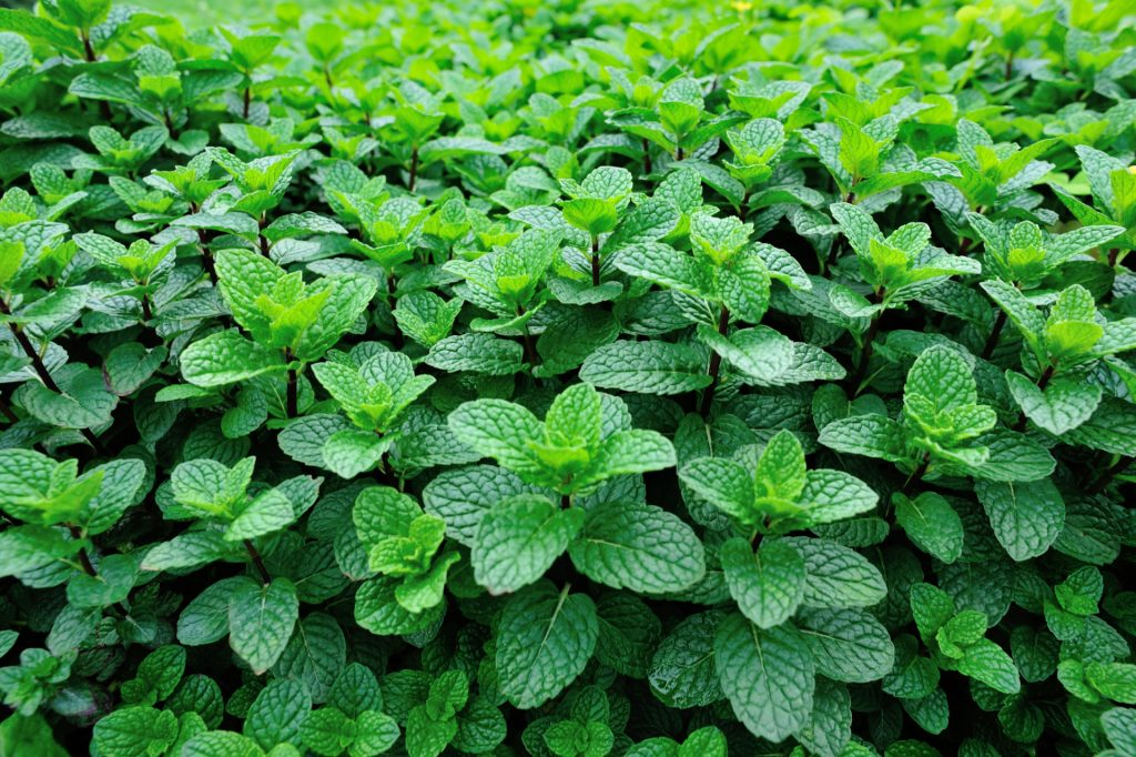 Mint in the garden