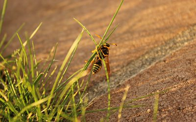 Plants That Repel Wasps: Do They Really Work as Repellents?